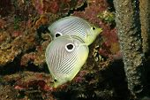 Four-eye Butterflyfish (Chaetodon capistratus) in Roatan, Honduras