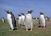 Colony Gentoo Penguins
