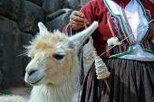 Peruvian Lama