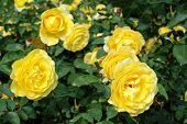 Yellow  Wild Roses