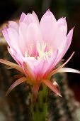 Pink Echinocereus Flower