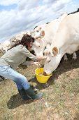 Criador de vacas em terras de alimentação