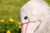 Portrait Of Pelican.