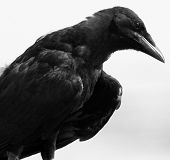Old Crow In Black And White
