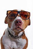 image of seeing eye dog  - Pitbull terrier dog wearing glasses shot in the studio - JPG