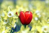 Red Tulip In Forest Of Yellow Narcissus