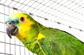 image of polly  - Head and shoulders portrait of a colorful pet parrot - JPG