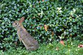 Wild Rabbit In Ohio