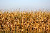 End-Of-Season Field Corn