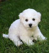Bichon Frise Puppy. 9 week old bichon puppy. Bichon puppy in grass. poster
