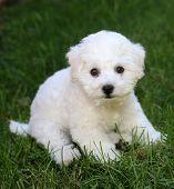 Bichon Frise Puppy. 9 week old bichon puppy. Bichon puppy in grass. poster