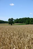 Wheat Field - New Jersey