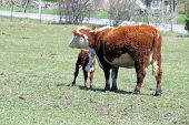 foto of hereford  - Hereford cow with a calf close to her neck - JPG