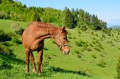 pic of banska  - brown horse in the green nature - JPG