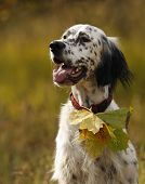picture of english setter  - Portrait of a english setterwith yellow leave vertical outdoors - JPG