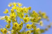 Flowers Of The Maple Tree. Maple Tree Blossom. Close-up. poster