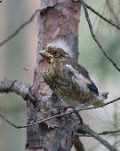 Grosbeak Chick Sitting On A Branch.