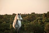 image of hackney  - Close up of New Forest pony bathed in warm glowing sunrise sunlight in landscape - JPG
