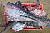 Swordfish Head In Bucket