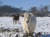 Cows In Snowy Field In Rural France