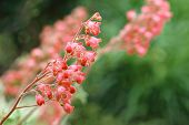 Soft focus floral image of coral bells (Heuchera) in garden.  Macro with extremely shallow dof.