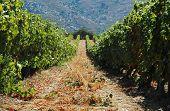 Vineyard in Lumio, Corsica
