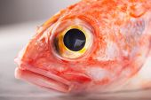 Sebastes Or Red Sea Bass On White Stone Background poster