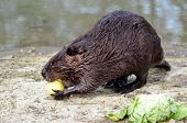 North American Beaver eating apple