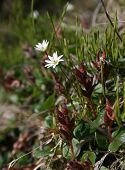 Stellaria Among The Dwarf Birchessredi.