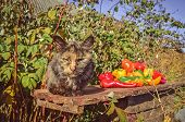 Cat Sits In The Garden Near Sweet Pepper. Cat Laying In Nature. poster