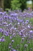 stock photo of lavender field  - Harvest of flowers of lavender on a meadow on agriculture theme - JPG