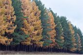Beautiful Yellow Larches And Evergreen Pines In The Autumn Forest. Seasons Of The Year. poster