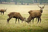 Red Deer Stags justas com chifres no Outono Outono floresta prado