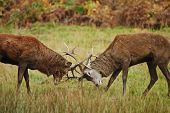 stock photo of jousting  - Jousting fighting red deer stags clashing antlers in Autumn Fall forest meadow - JPG