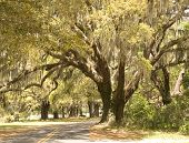 Road Curving Through Southern Oaks