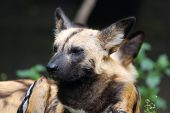 stock photo of spotted dog  - Lycaon pictus is a large canid found only in Africa - JPG