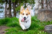 Happy And Active Purebred Welsh Corgi Dog Running Outdoors In The Park On A Sunny Summer Day. poster