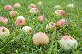 Close-up Of Red Ripe Apples On Green Grass In The Garden. Fallen Ripe Apples In The Summer Orchard.  poster