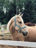 Beige Horse With White Mane On The Ranch. Portrait Of Beautiful Horse With Golden Mane. Toksovo, Sai poster