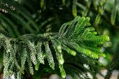 Araucaria Heterophylla, It Is Sometimes Called The Star Pine, The Norfolk Pine, The Triangular Tree  poster