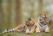 stock photo of tigress  - Beautiful tigress relaxing on grassy hill with cub