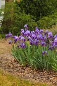 stock photo of memphis tennessee  - purple iris rows beckon the spring gardener back to the garden - JPG
