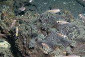 Horrid Stonefish