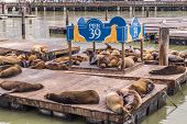 Sea Lions Resting At Pier 39 In San Francisco poster