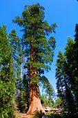 Sequoia Trees Besides An Alpine Meadow At An Evergreen Forest Taken In The Rural Sierra Nevada Mount poster