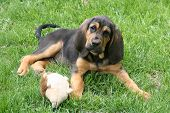 foto of bloodhound  - A young bloodhound puppy in the grass - JPG