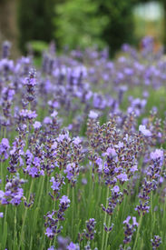 pic of lavender field  - Harvest of flowers of lavender on a meadow on agriculture theme - JPG