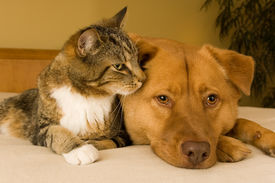 stock photo of cat dog  - Cat and dog resting together on bed - JPG