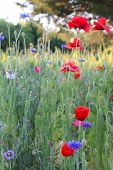 Field of wild flowers including poppies and bachelor's buttons