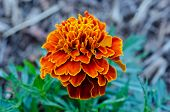 Close-up Marigold